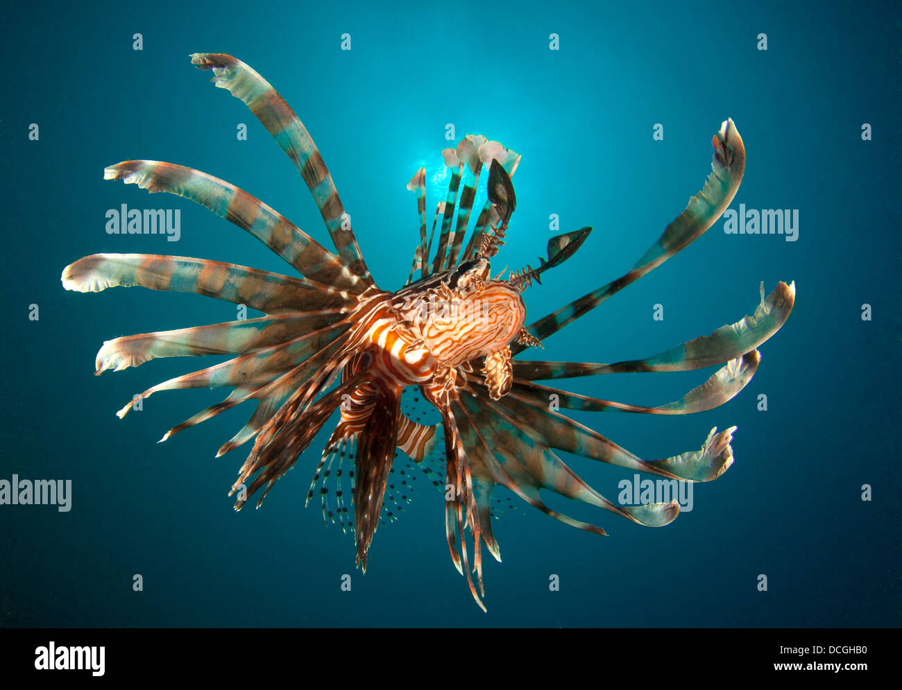 Close-up view of a lionfish (Pterois volitans), Gorontalo, Indonesia. - Stock Image