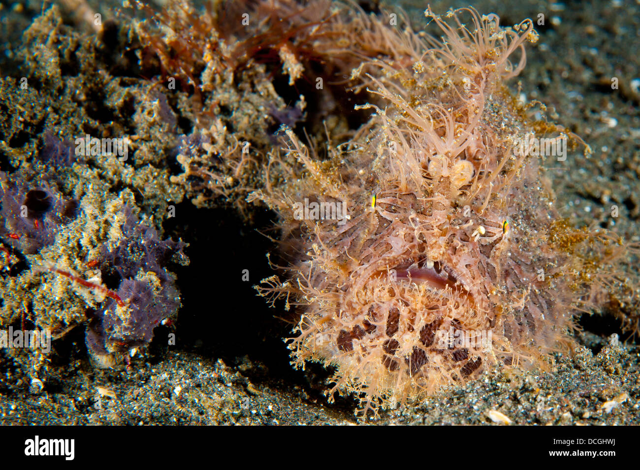 Striated frogfish (Antennarius striatus), red and pink in color with large appendages, Lembeh Strait, Indonesia. - Stock Image