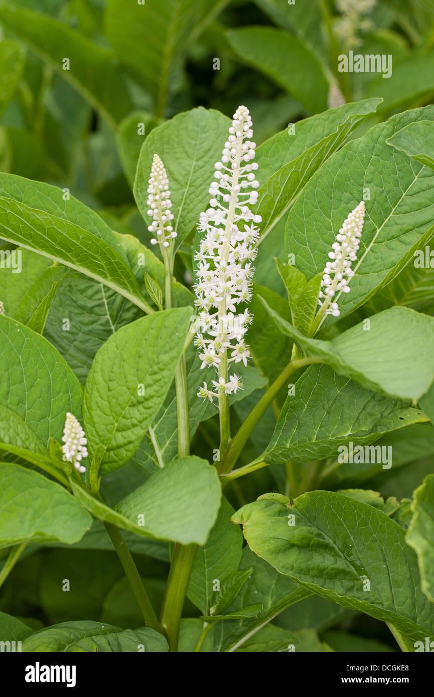 Indian poke, Indian pokeweed, Asiatische Kermesbeere, Essbare Kermesbeere, Phytolacca esculenta, Phytolacca acinosa - Stock Image