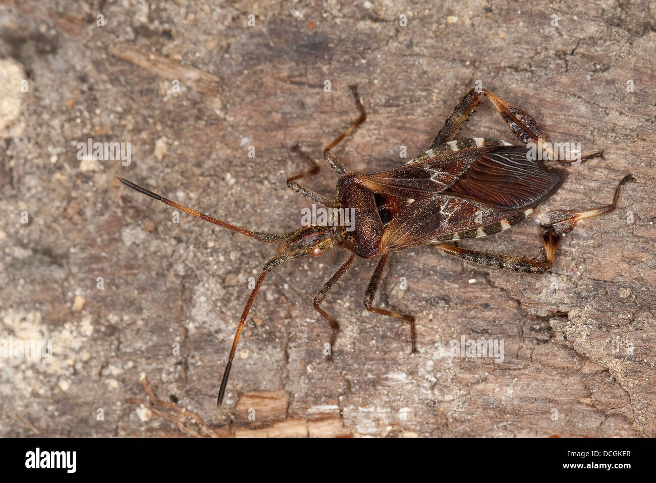Western conifer seed bug, Amerikanische Kiefernwanze, Amerikanische Zapfenwanze, Leptoglossus occidentalis - Stock Image