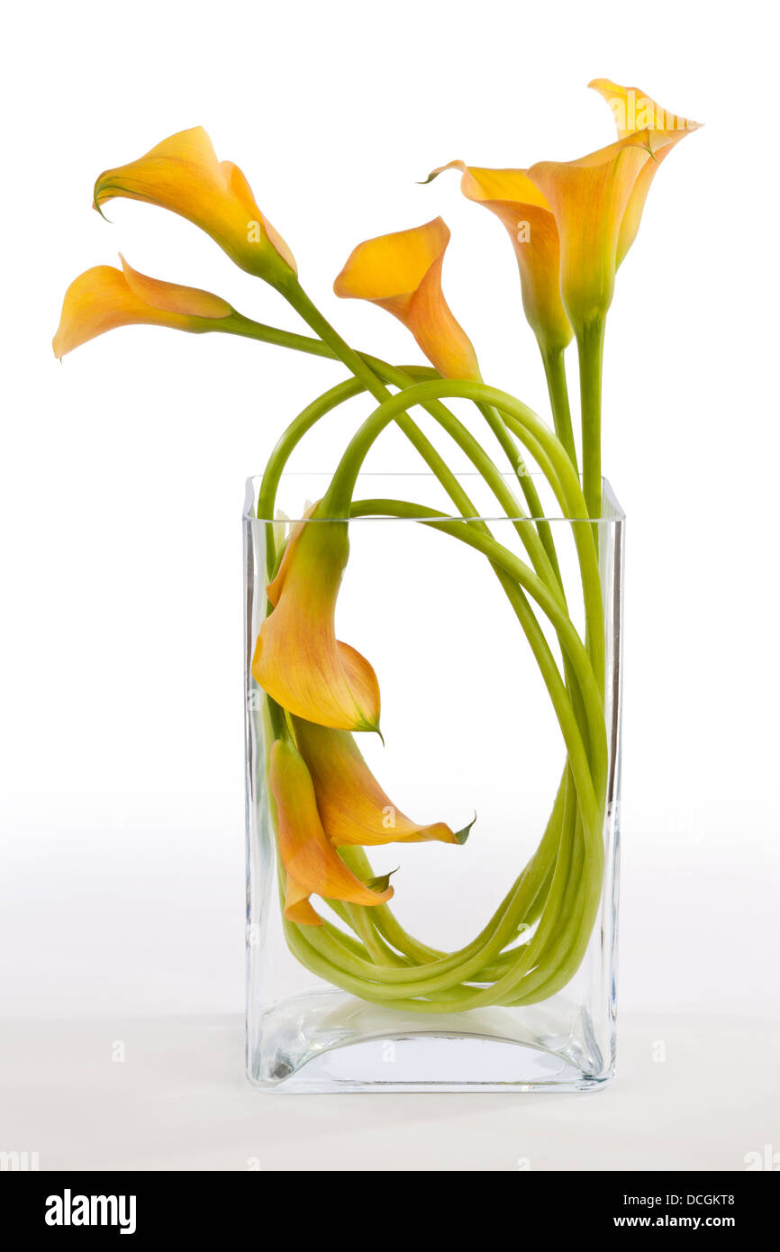 Orange Calla Lilies arranged in a vase on a white background - Stock Image