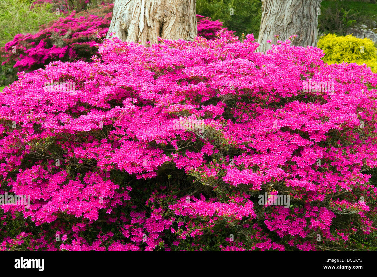 Bright pink flowers growing at the base of a tree in muckross stock bright pink flowers growing at the base of a tree in muckross gardens killarney county kerry ireland mightylinksfo