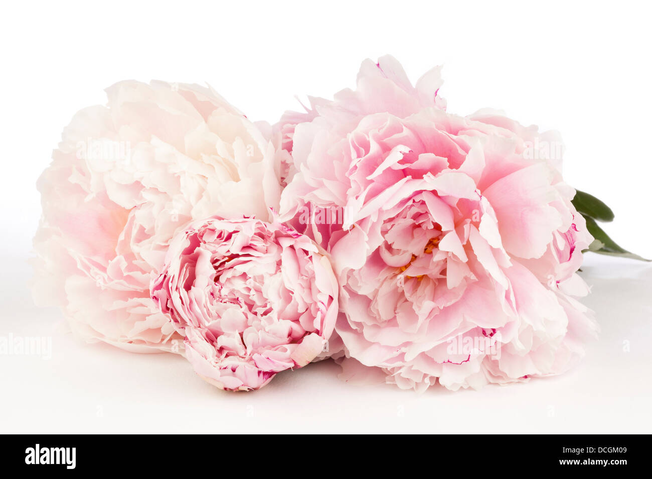 Three Peony Flowers on a white background - Stock Image