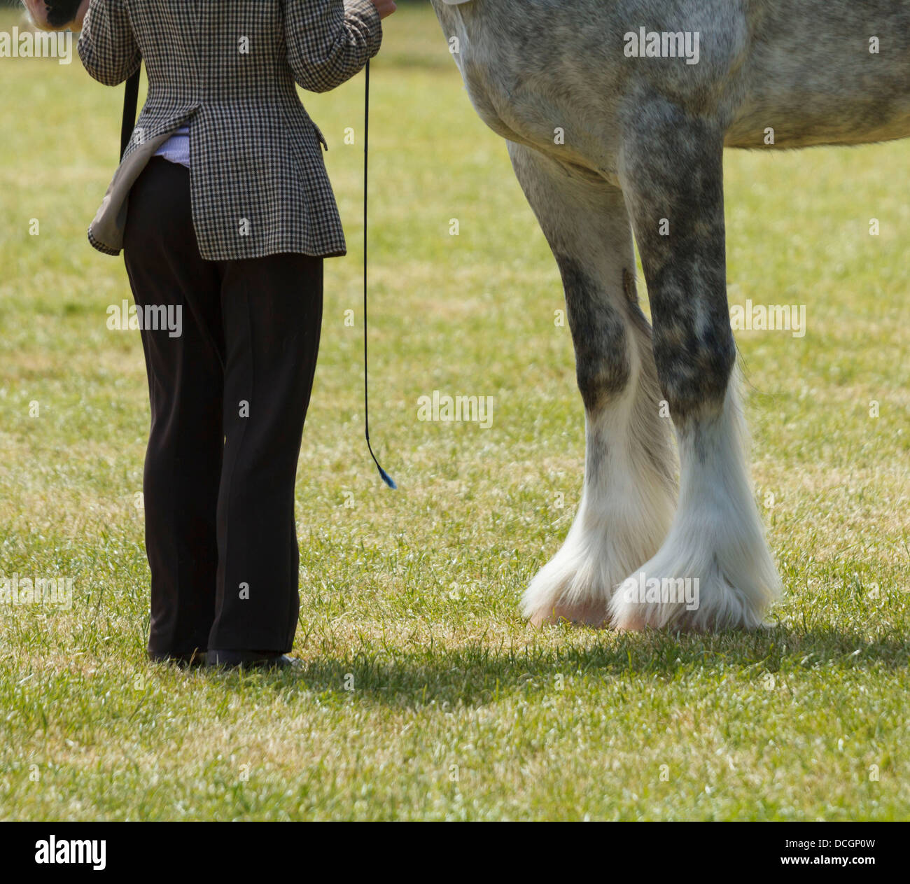 A white grey gray horse mare stallion gelding handler legs feet long hair hairy hoof hooves fetlocks only South - Stock Image