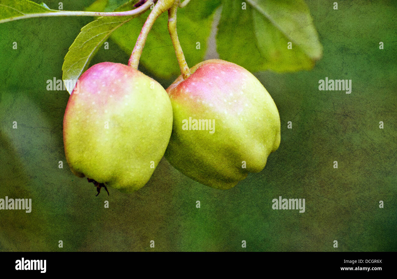Crab apples - Stock Image