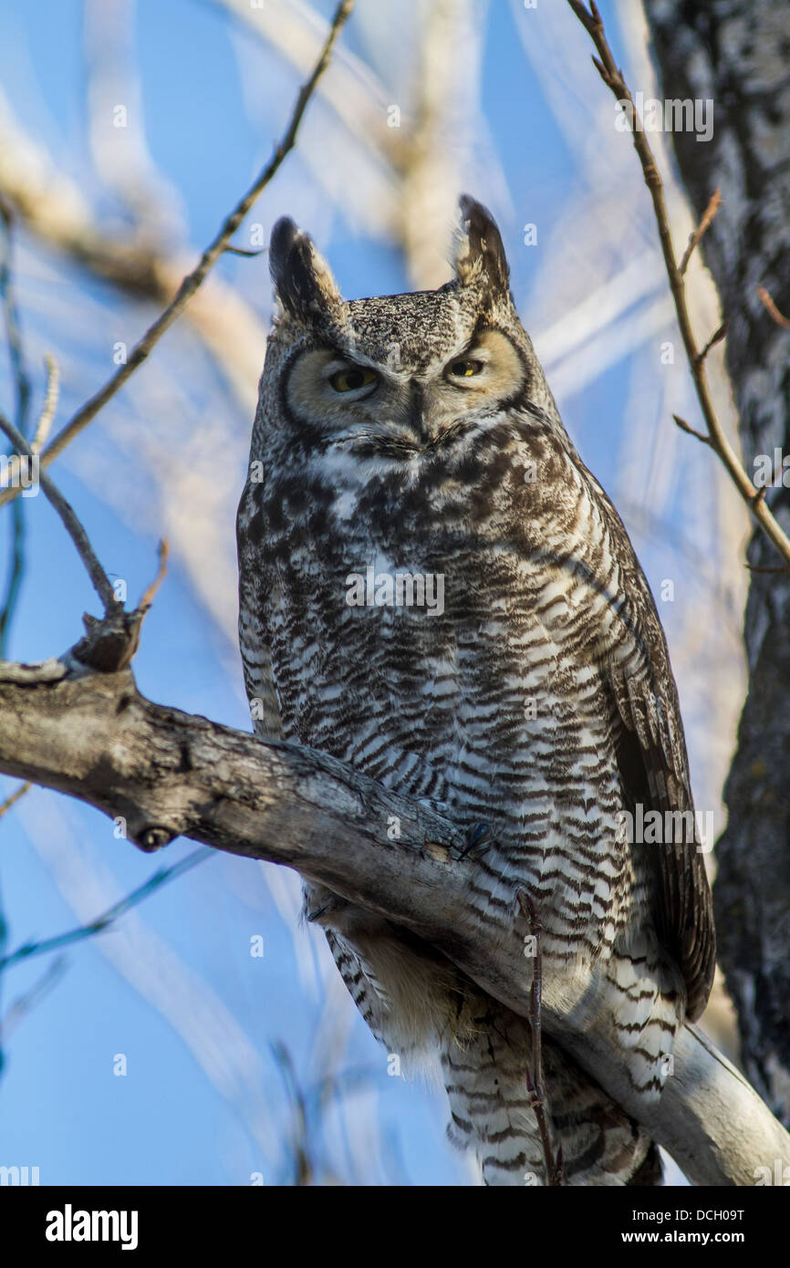 Great Horned Owl, (Bubo virginianus) Colorful adult sleeping in trees, during the day, near Calgary, Alberta, Canada Stock Photo
