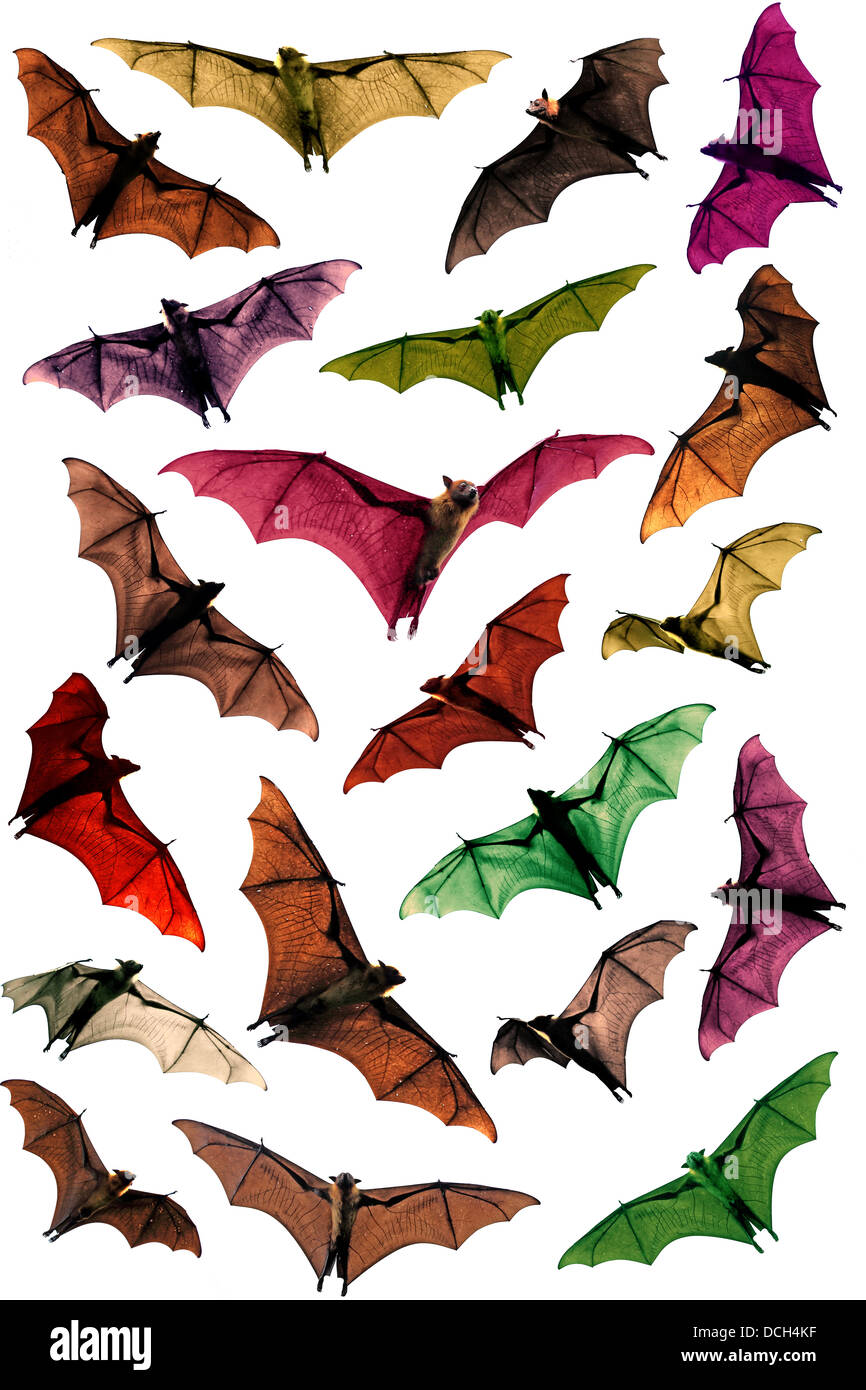 Multi colored fruit bats flying foxes circling in sky - Stock Image