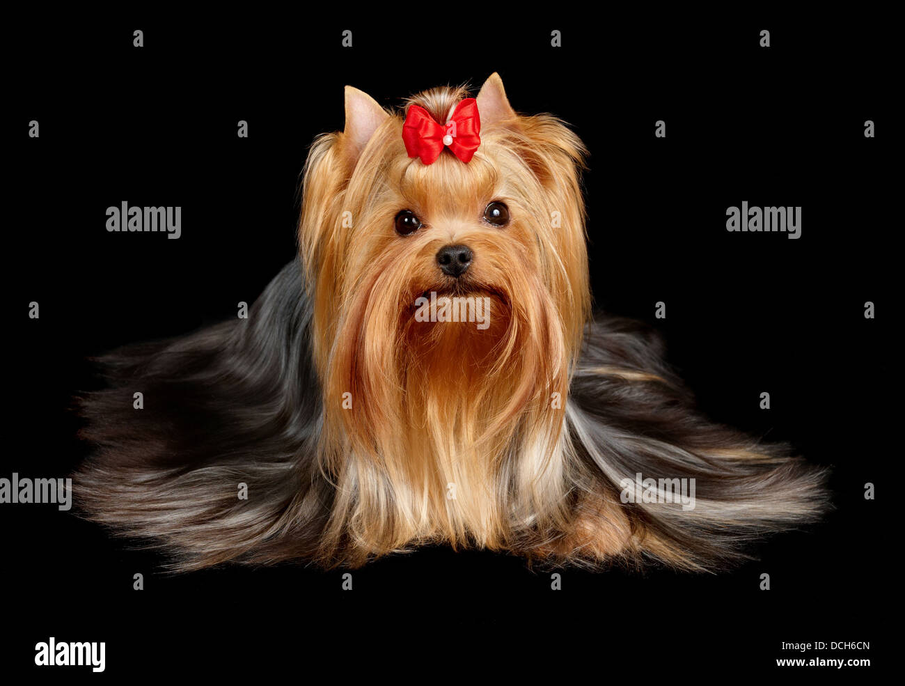 The Yorkshire Terrier on black background - Stock Image