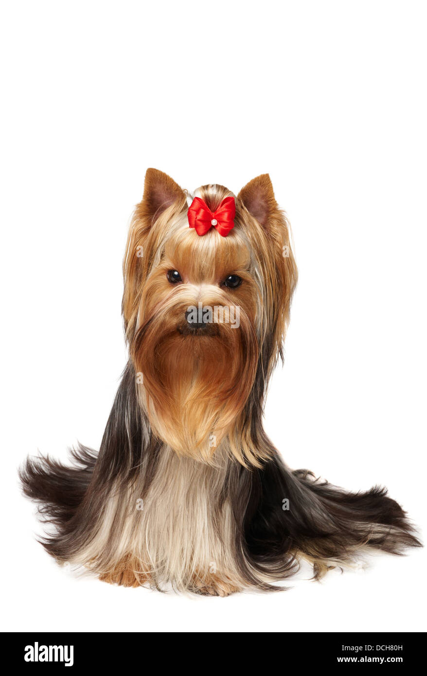 Cute pet, male of the Yorkshire Terrier - Stock Image