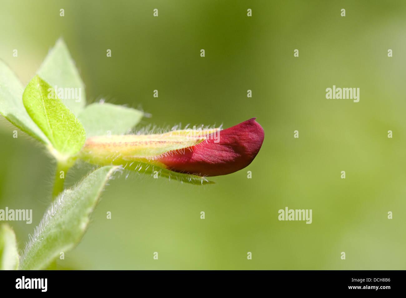 Lotus tetragonolobus, syn. Tetragonolobus purpurea. Asparagus pea flower. - Stock Image