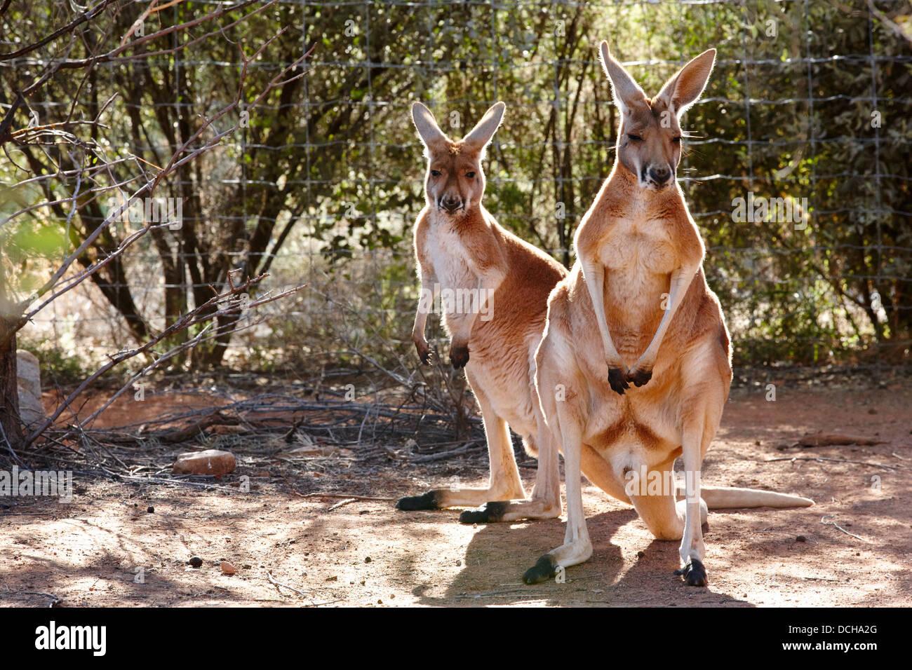 Kangaroo (Macropus Rufus) at Alice Springs Desert Park, Australia - Stock Image