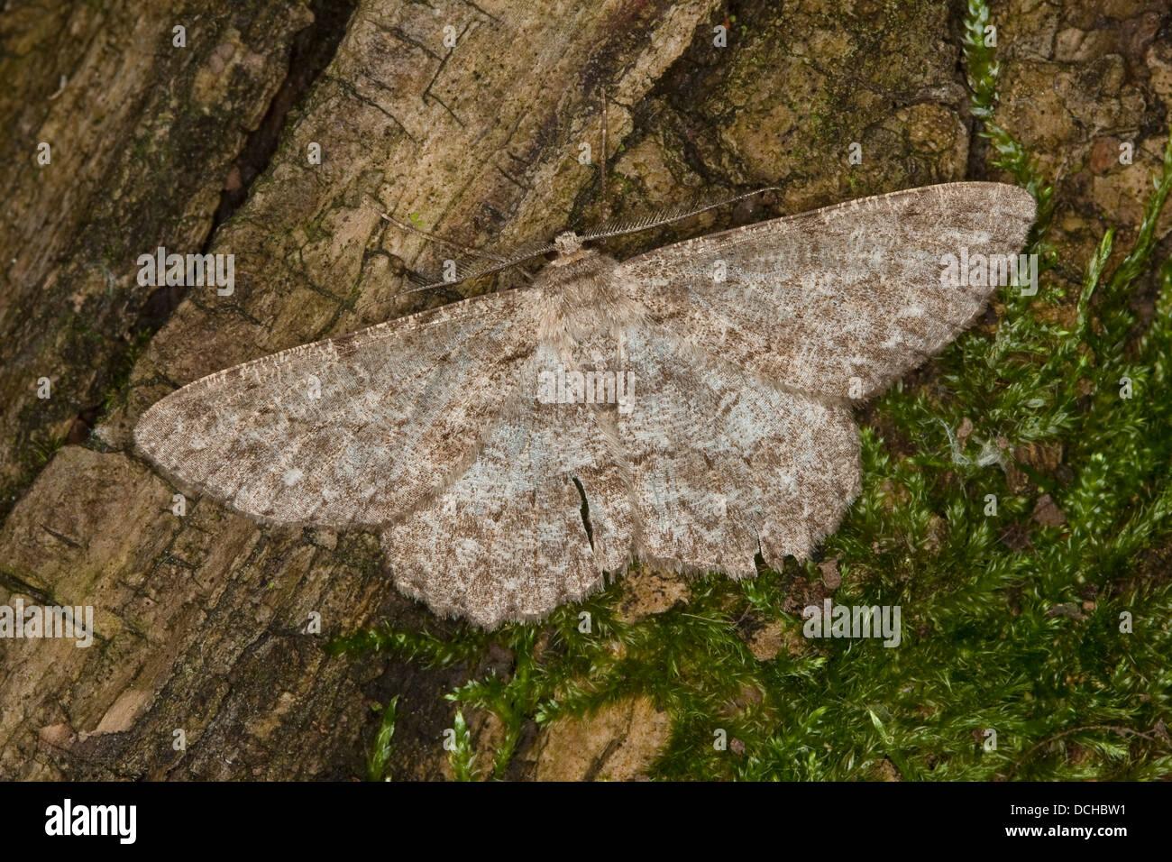 Pale Oak Beauty, Aschgrauer Baumspanner, Aschgrauer Rindenspanner, Hypomecis punctinalis, Boarmia punctinalis - Stock Image