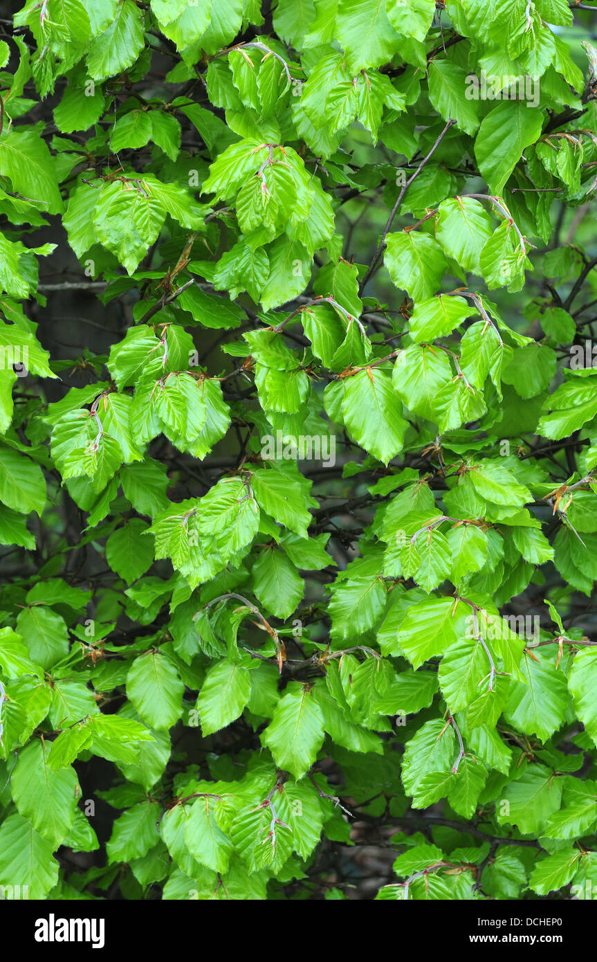 Newly emerged beech leaves (Fagus sylvatica) in a hedge near Aberystwyth - Stock Image
