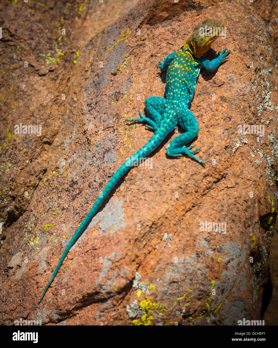 Collared lizard in Wichita Mountains National Wildlife Refuge in Lawton, Oklahoma - Stock Image