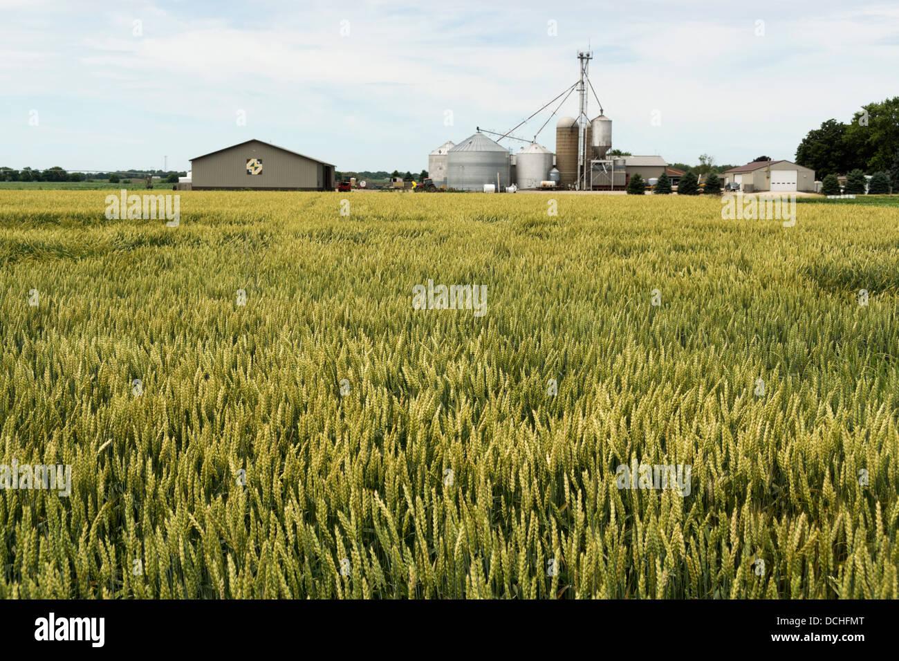 Wheat ripening in a north Illinois farm field. - Stock Image