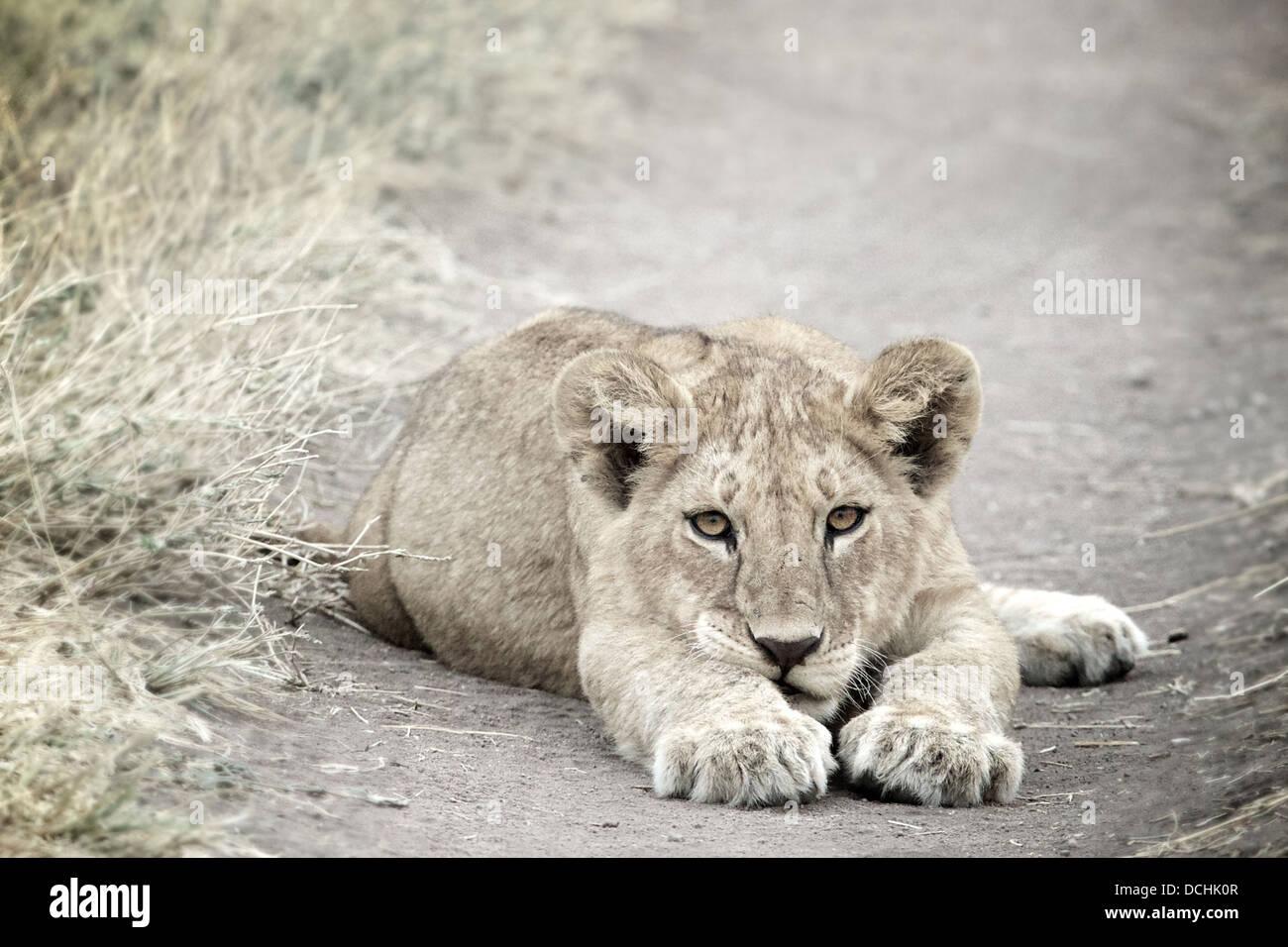 Young lion cub.Panthera leo Serengeti National Park . Tanzania - Stock Image