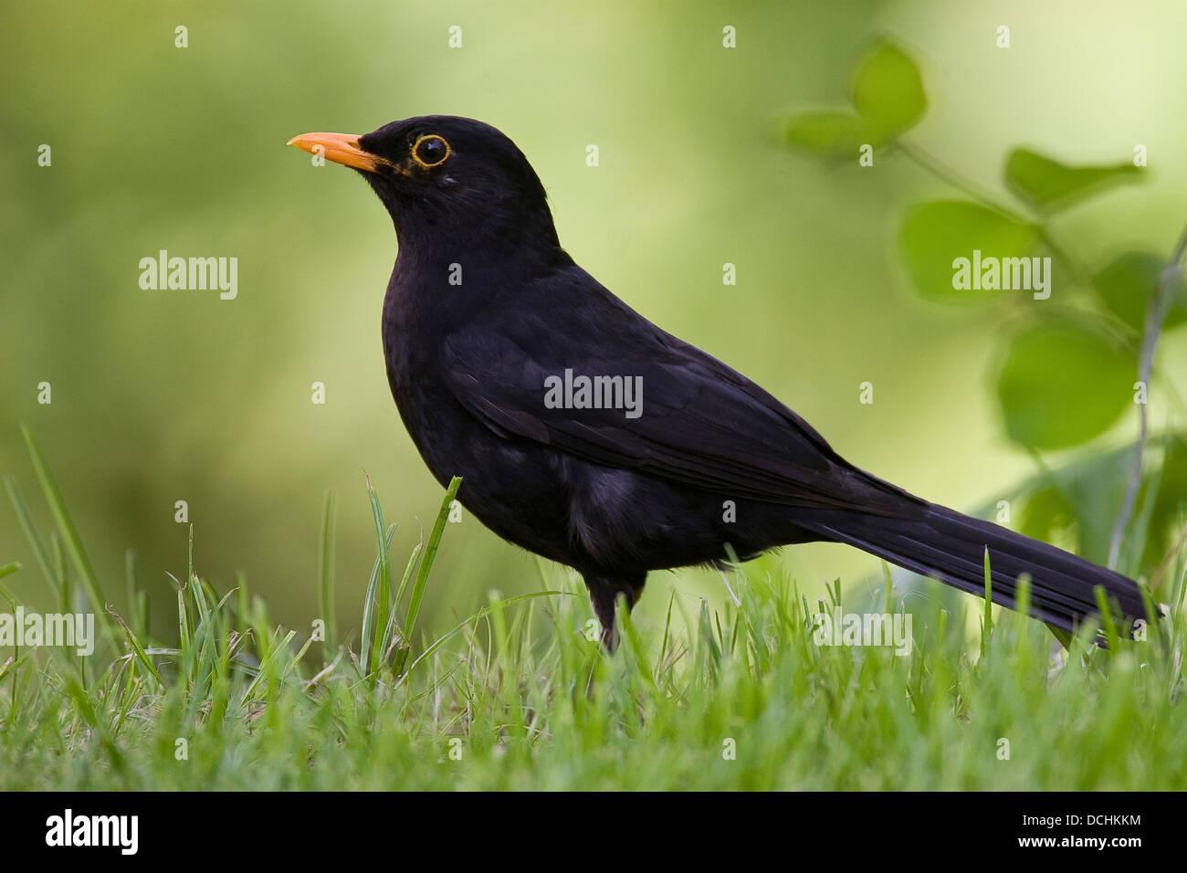 Blackbird, Eurasian Blackbird, male, Amsel, Schwarzdrossel, Drossel, Männchen, Turdus merula, Merle noir Stock Photo