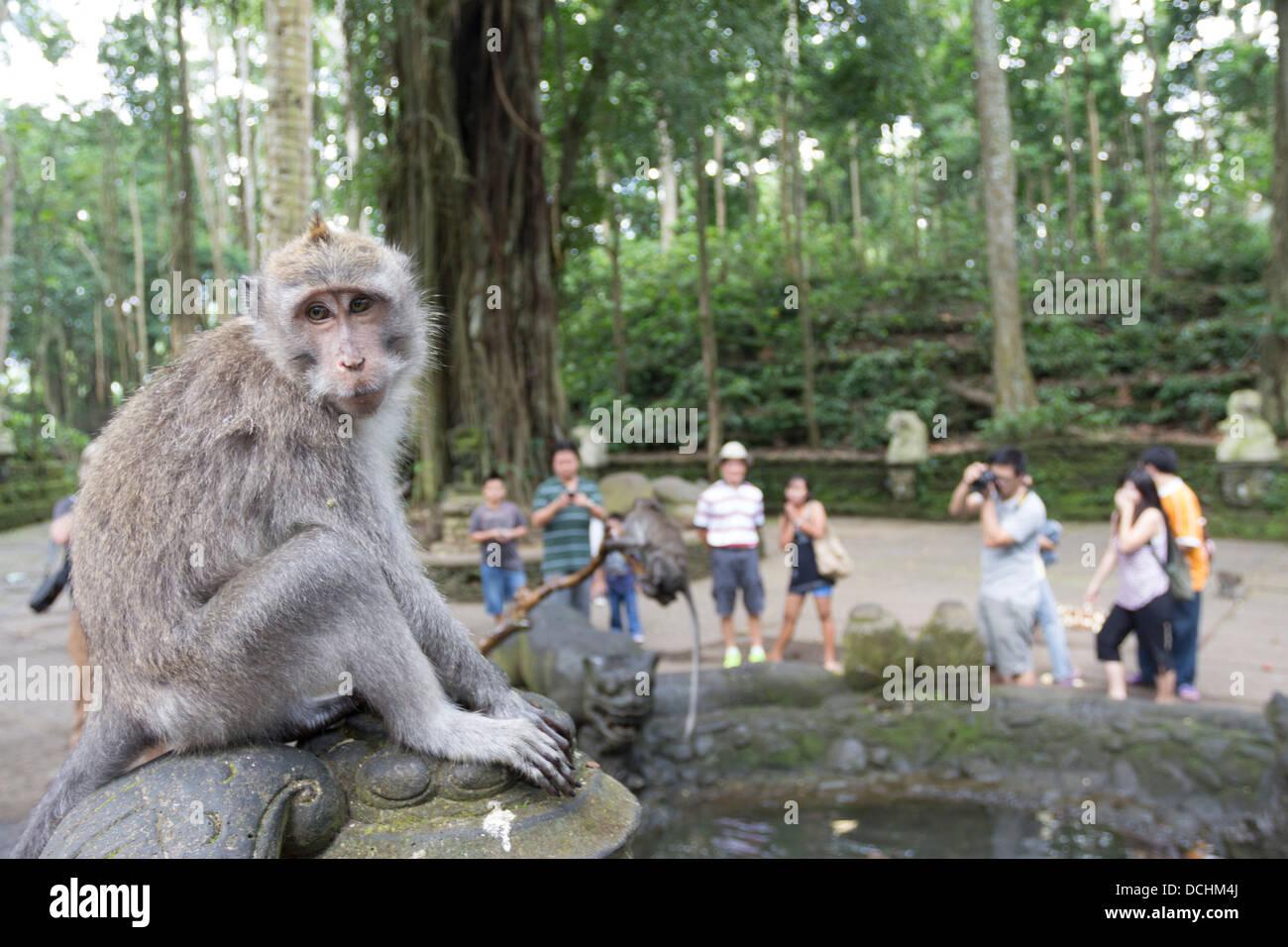 Sacred Monkey Forest of Padangtegal - Ubud - Bali - Stock Image