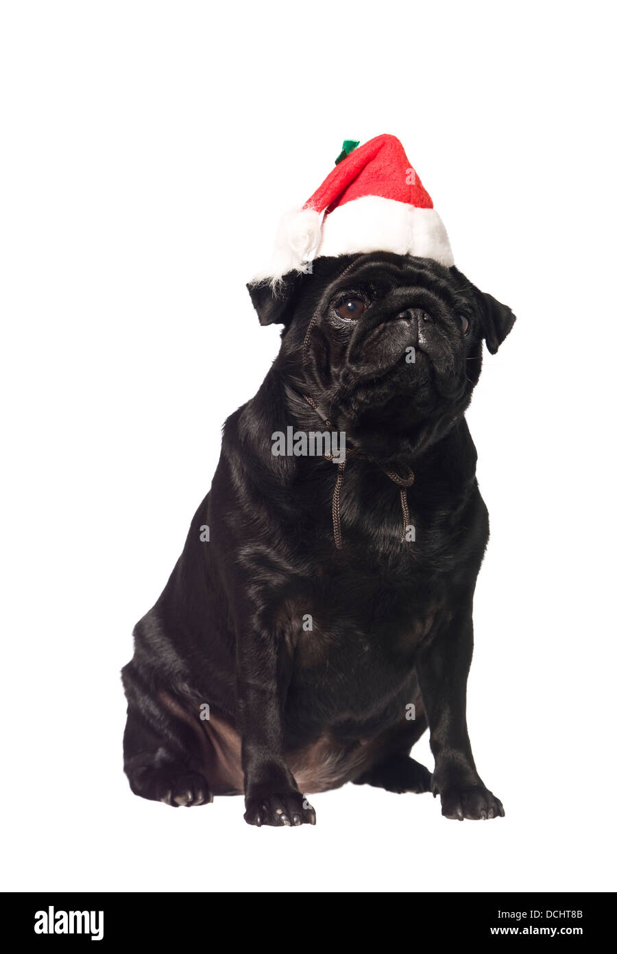 Black pug with a santa hat - Stock Image