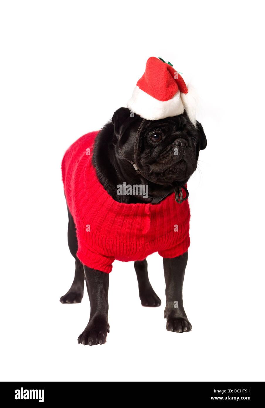 Black pug with a christmas dress - Stock Image