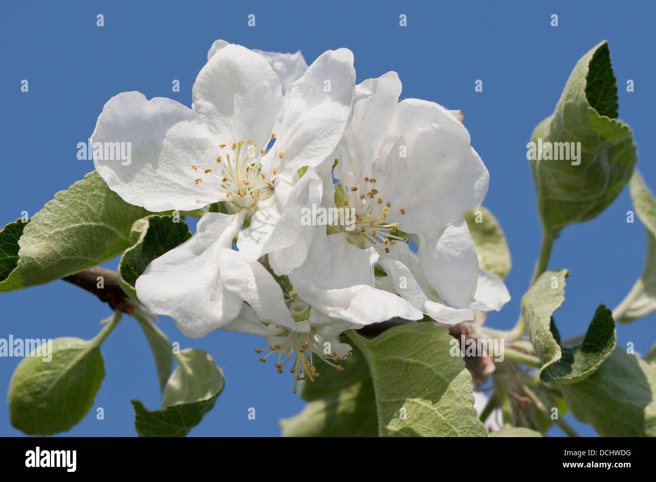 Apple, fruit tree, fruit-bearing tree, Kultur-Apfel, Apfelbaum, Obst, Obstbaum, Apfelblüte, Malus domestica, - Stock Image