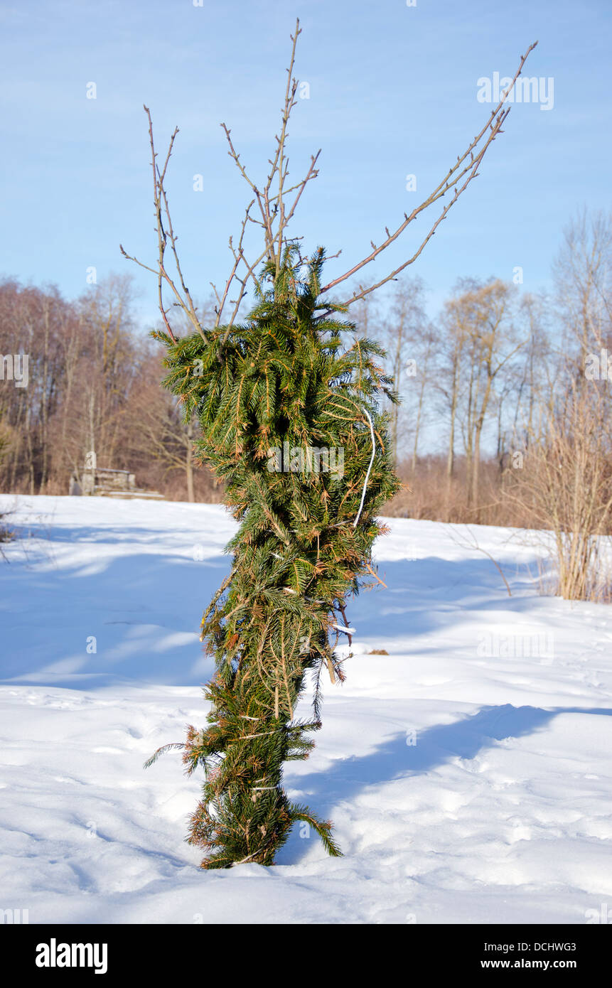 young apple tree protection against  rodents and cold in winter time - Stock Image