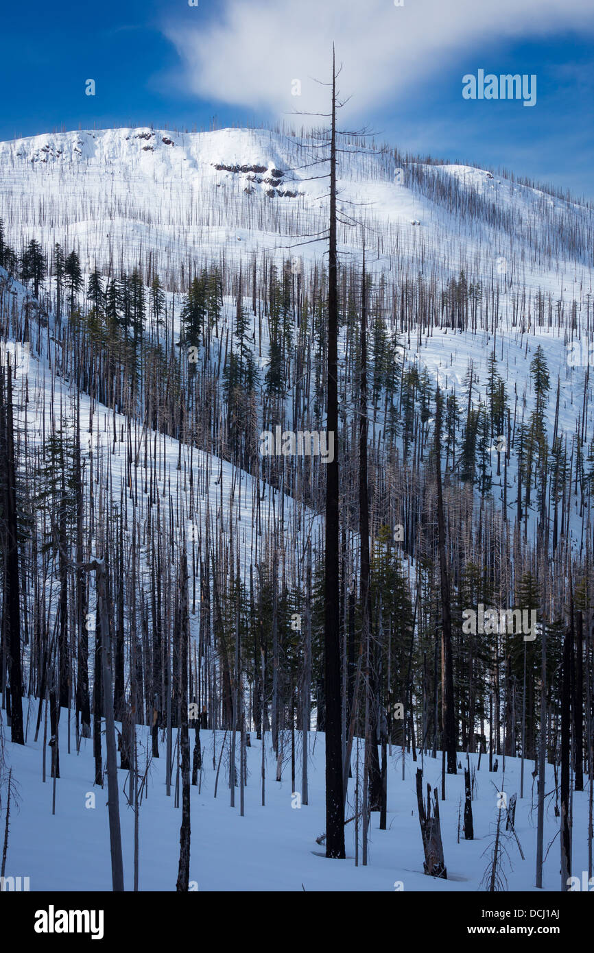 Hillside with burned in forest fire, in Oregon in winter - Stock Image
