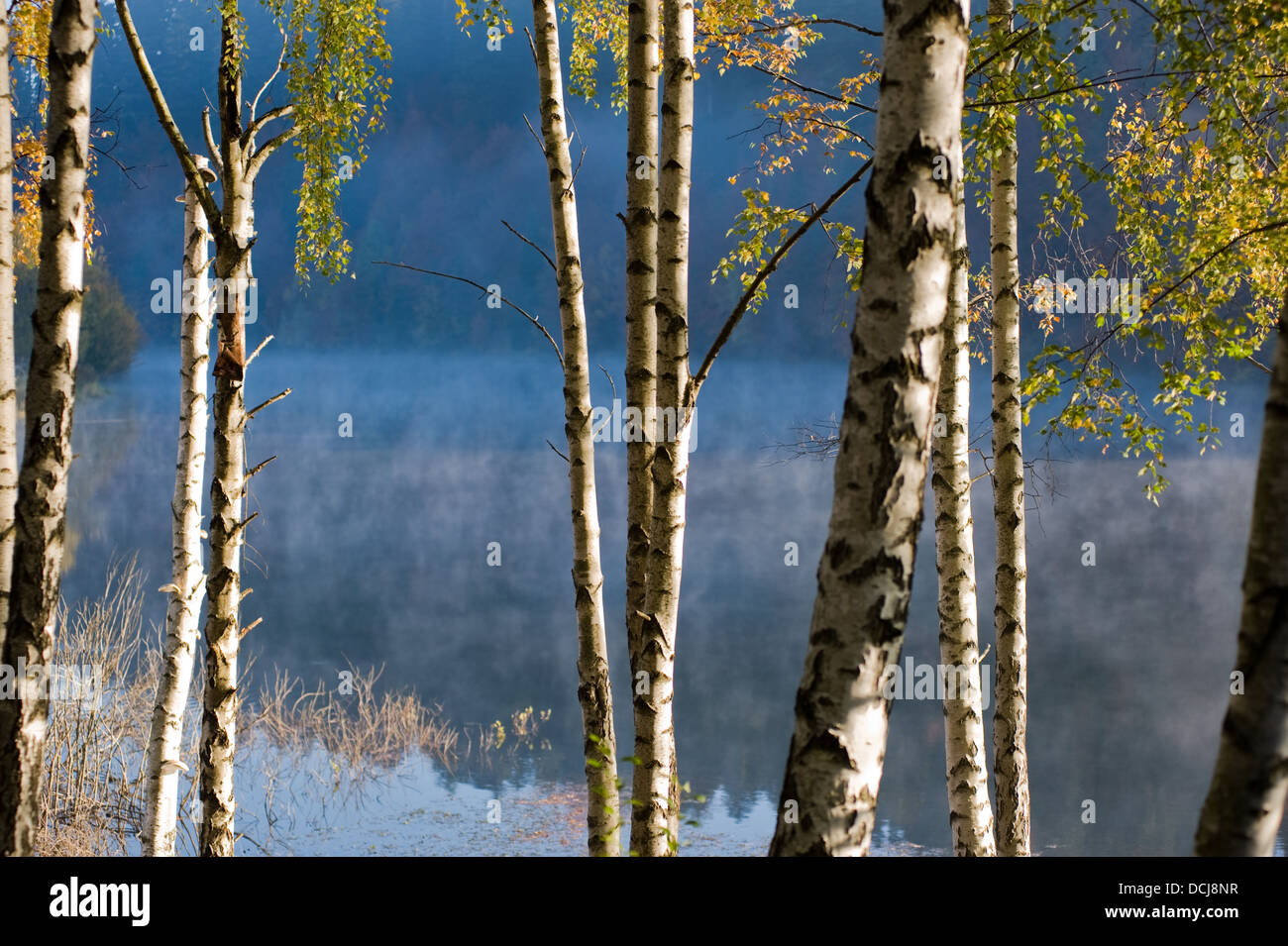 Birch trees by the lake in sunrise - Stock Image