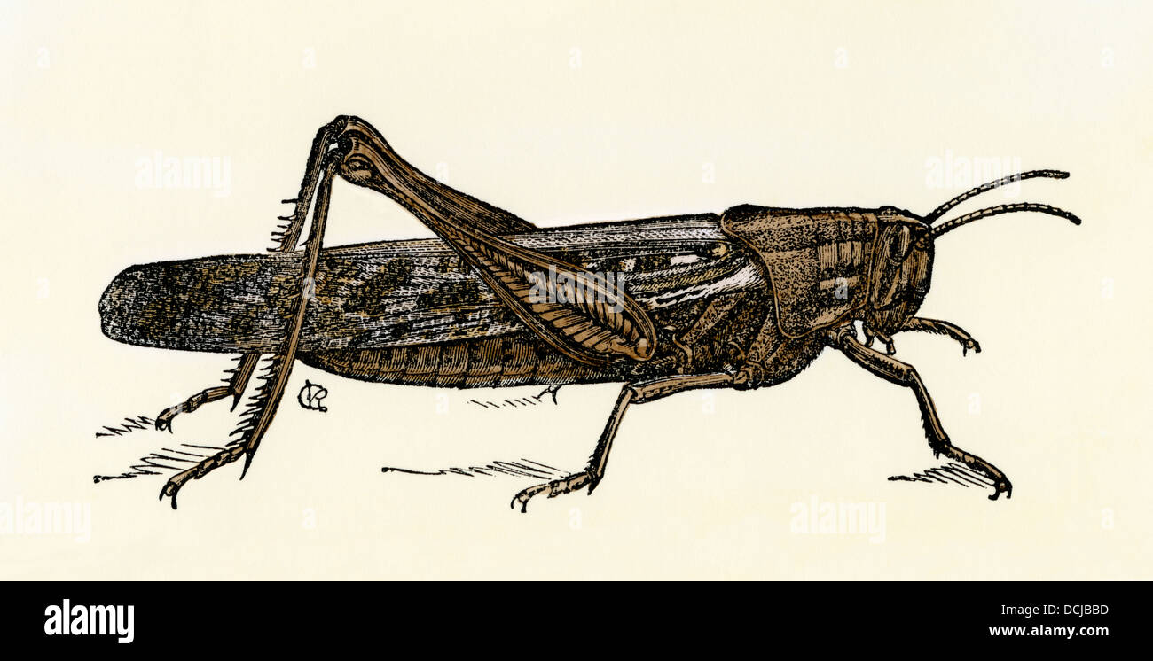 North American locust, Schistocerca americana. Hand-colored woodcut - Stock Image