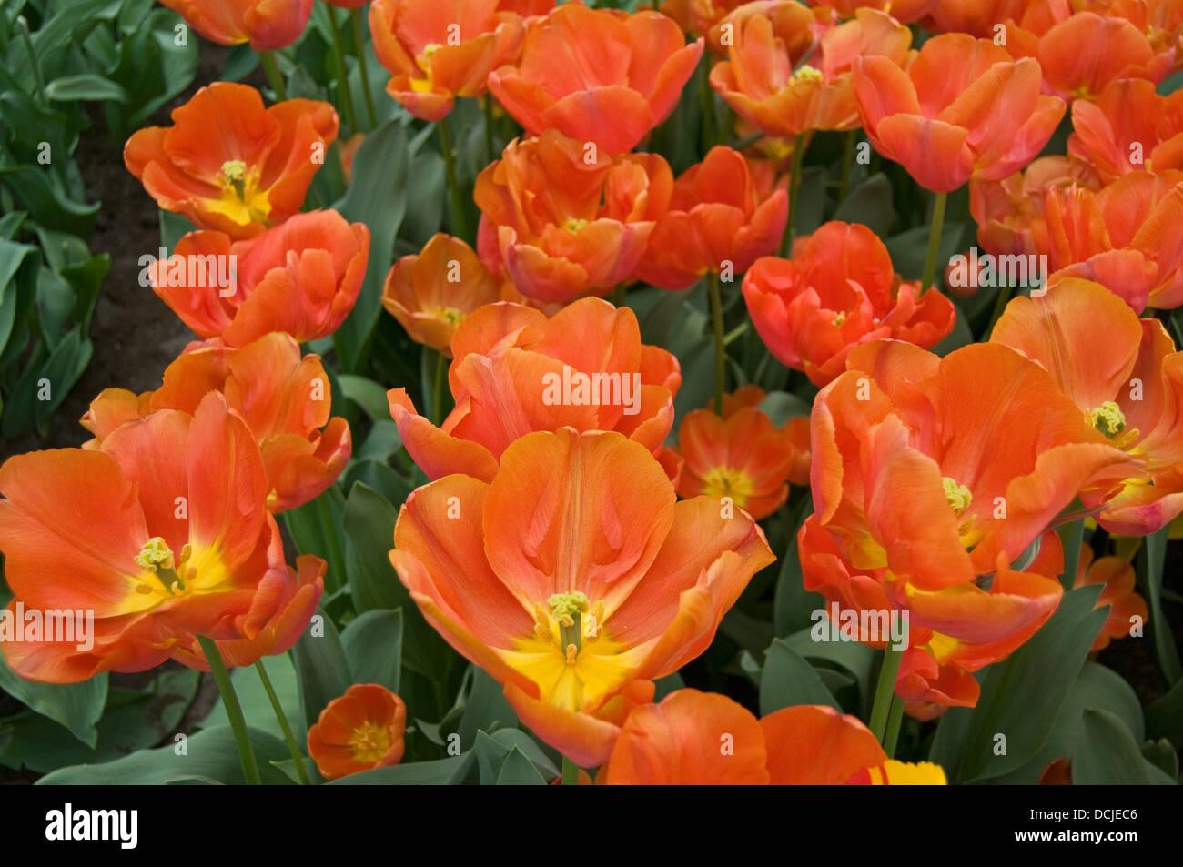 Apeldoom Elite Tulip (Darwin hybrid), Keukenhof, Near Lisse, Holland, Netherlands, Europe. - Stock Image