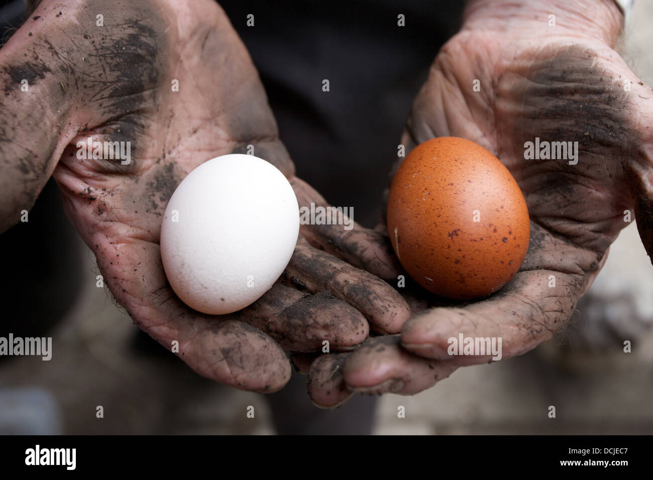 Freshly laid eggs held in a mans hands - Stock Image