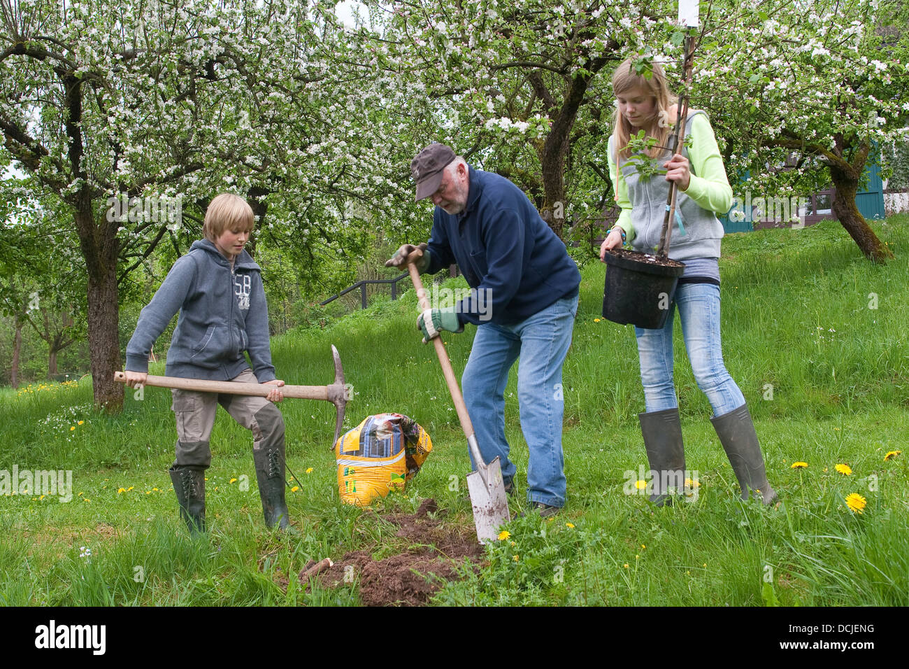 Apple, fruit-tree, tree plant, planting, Apfelbaum pflanzen, Obstbaum, Apfel, Obstplantage, Obstanbau, Obst, Malus - Stock Image