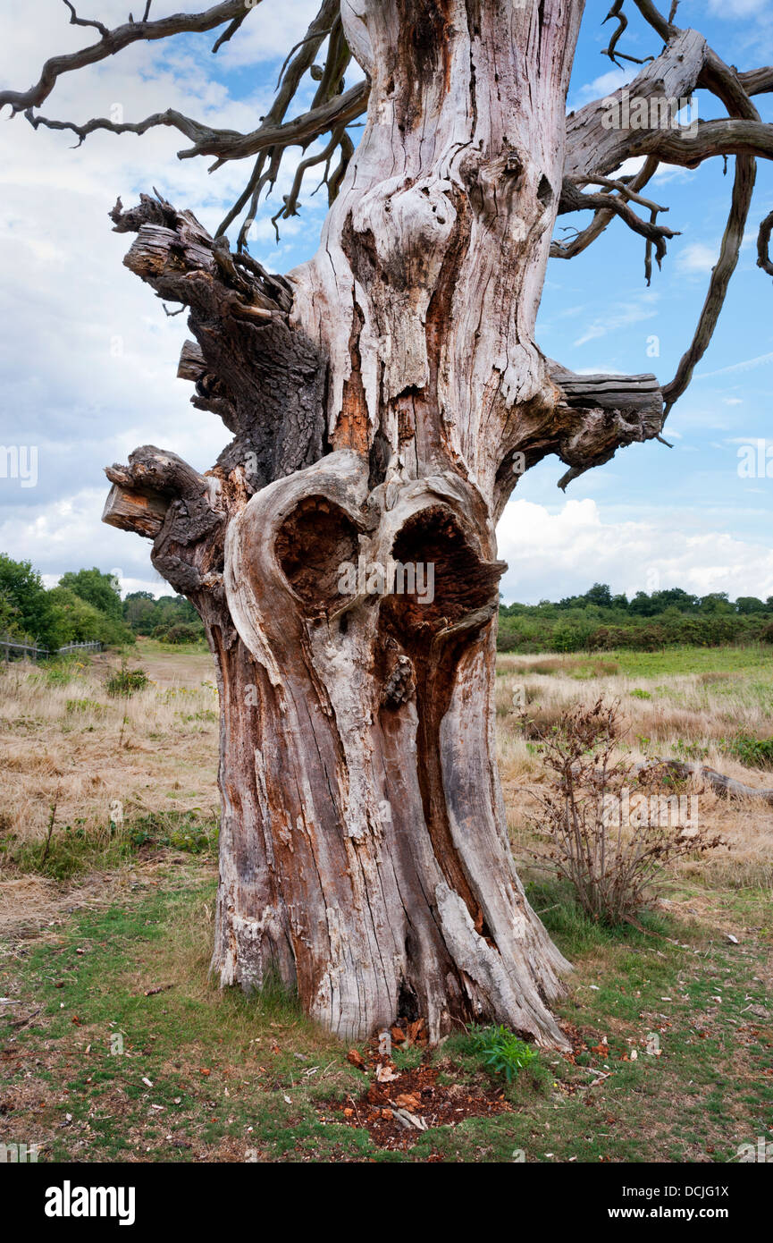 Dead old tree trunk, Oxfordshire, UK - Stock Image