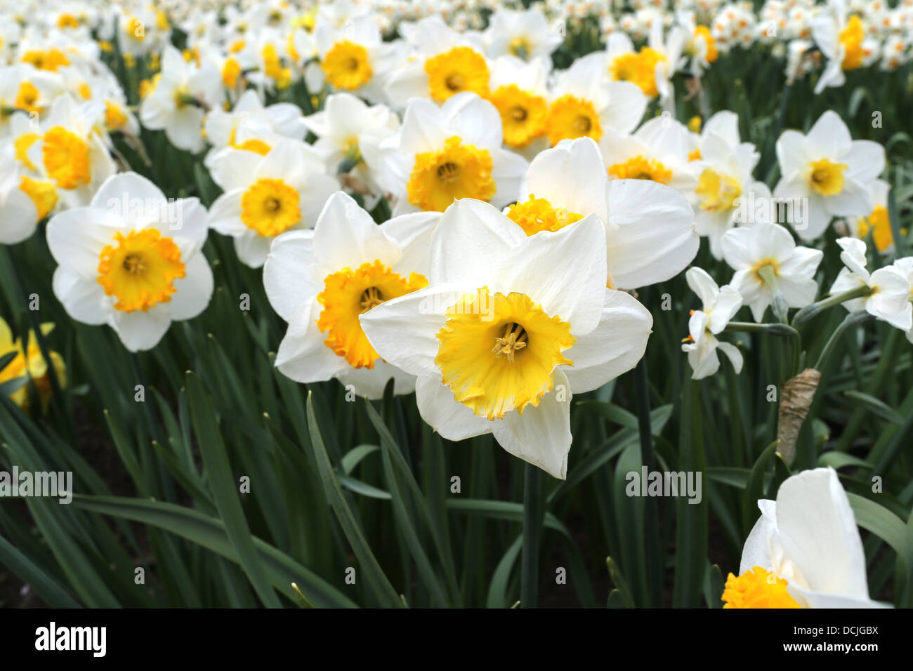 Lilies Blooming In Holland Of The 1 700 Varieties Of Tulips And