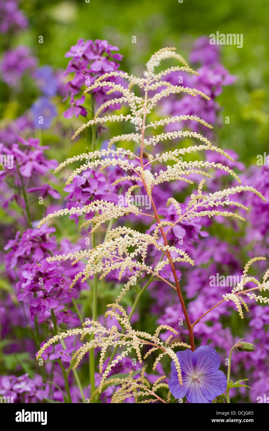 Aruncus dioicus flowers amongst Lunaria annua. Goat's beard amongst honesty flowers in an herbaceous border. - Stock Image
