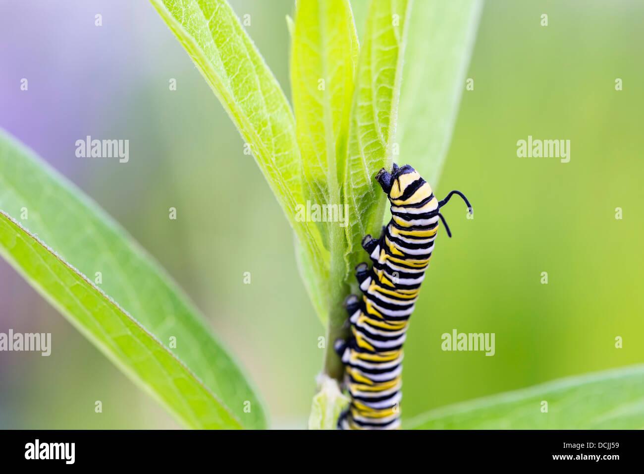 Monarch butterfly caterpillar (Danaus plexippus) on leaves - Stock Image