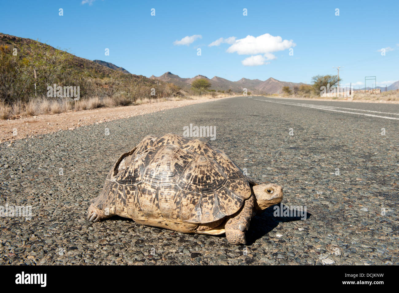 Leopard tortoise (Geochelone pardalis) on the road, near Oudtshoorn, South Africa - Stock Image