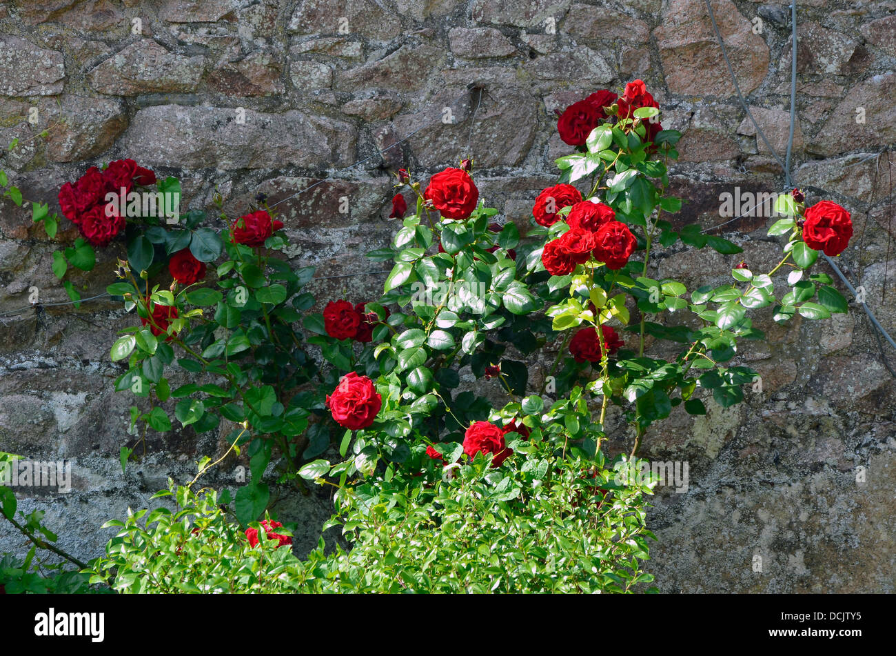 Red roses against an old red sandstone wall in the south Cumbria area of the Lake District. - Stock Image