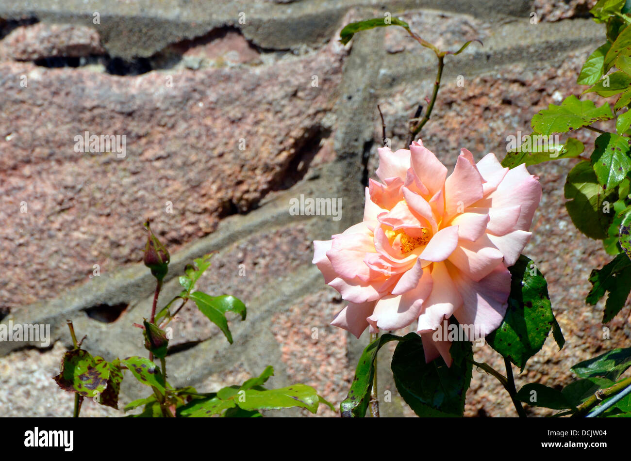 Pink rose against an old red sandstone wall in the south Cumbria area of the Lake District. - Stock Image