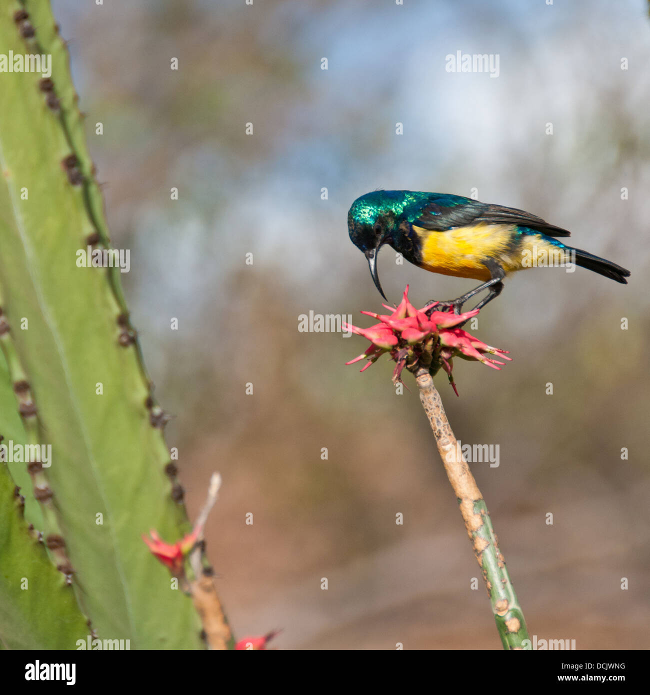A collared sunbird eating at an Aloe Vera flower in Tanzania - Stock Image