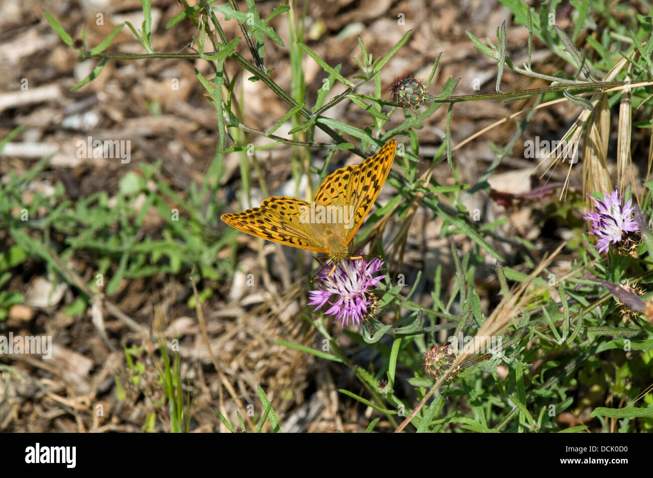 A High Brown Fritillary  (Argynnis adippe) butterfly feeds on a thistle in a woodland area behind Notre Dame-de Stock Photo