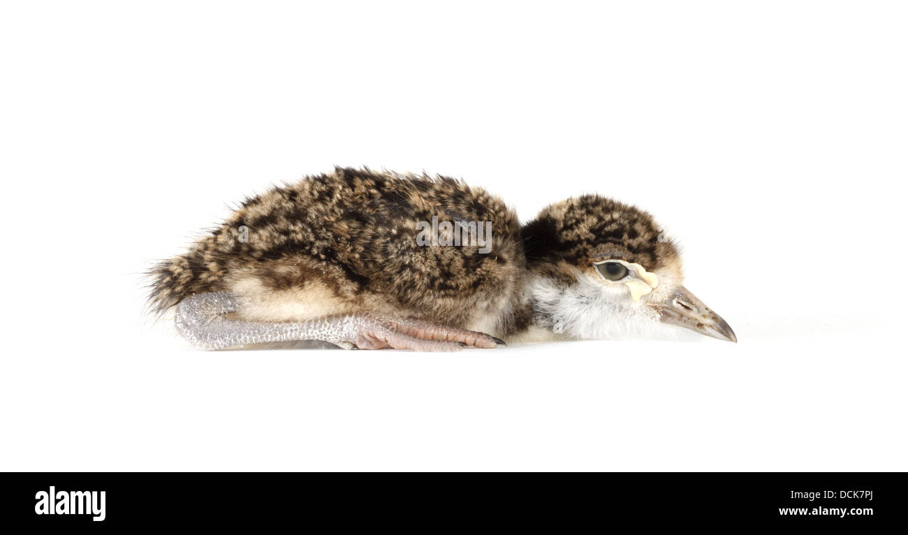 Spur winged plover chick photographed on a white background, digitally adjusted ready for easy cut-out - Stock Image