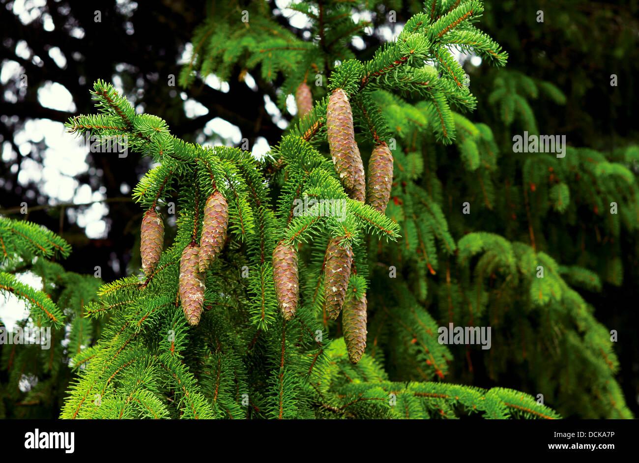spruce branch - Stock Image