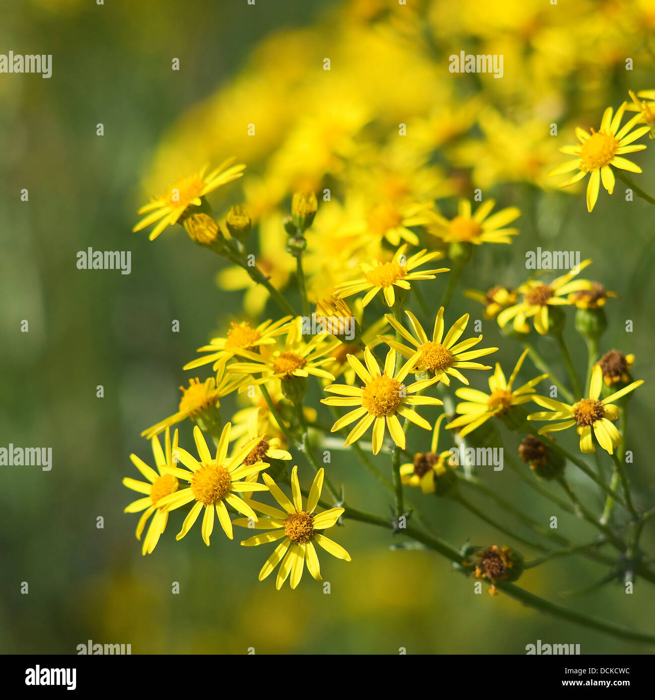 many yellow flowers in the garden Stock Photo