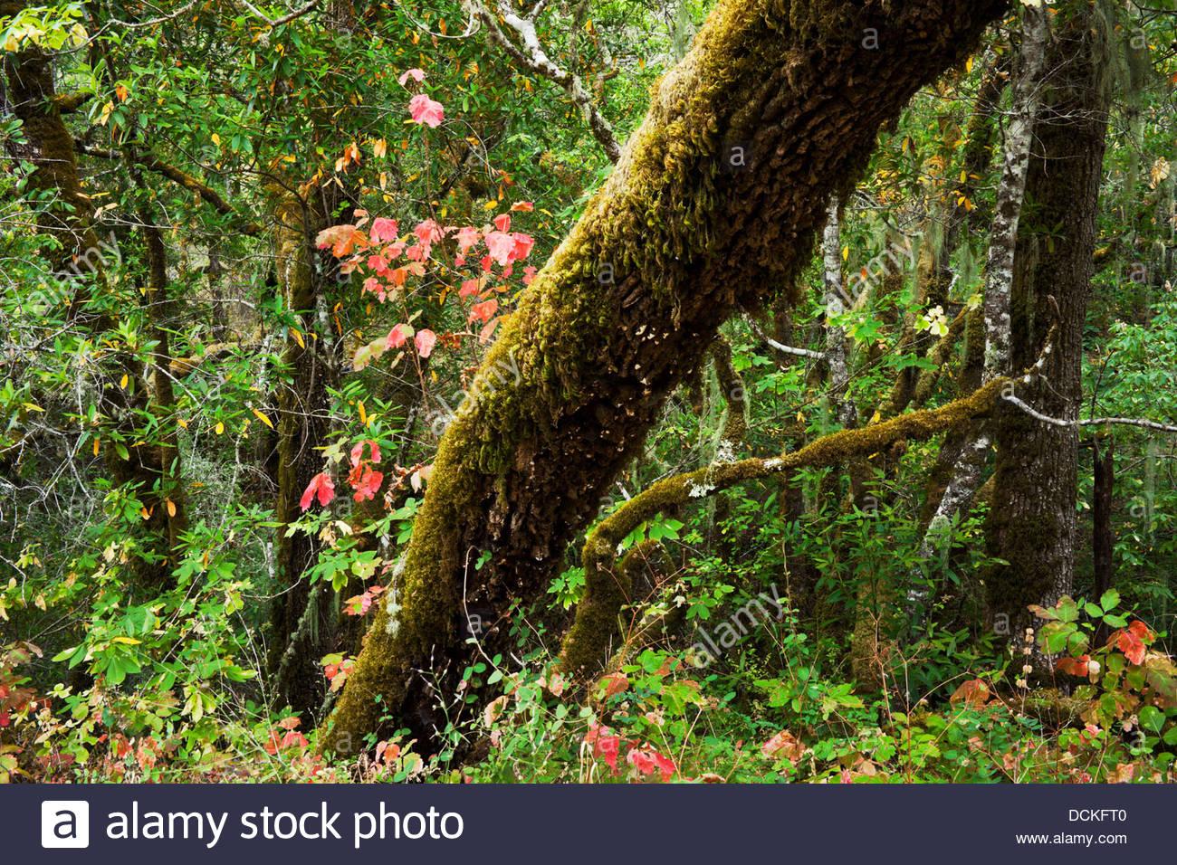 Poison Oak at Cascade Canyon Open Space Preserve, Fairfax, California - Stock Image