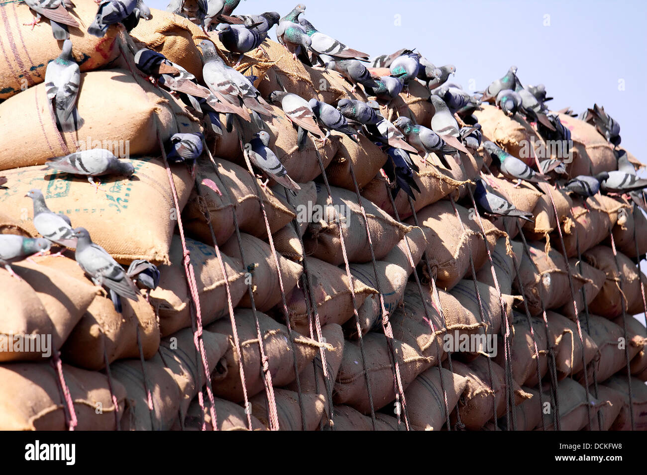 Pigeons,sacks of grains,feeding,roadside,spectacle,Rajasthan,India,Indian Blue Rock Piegon,Columba livia, - Stock Image