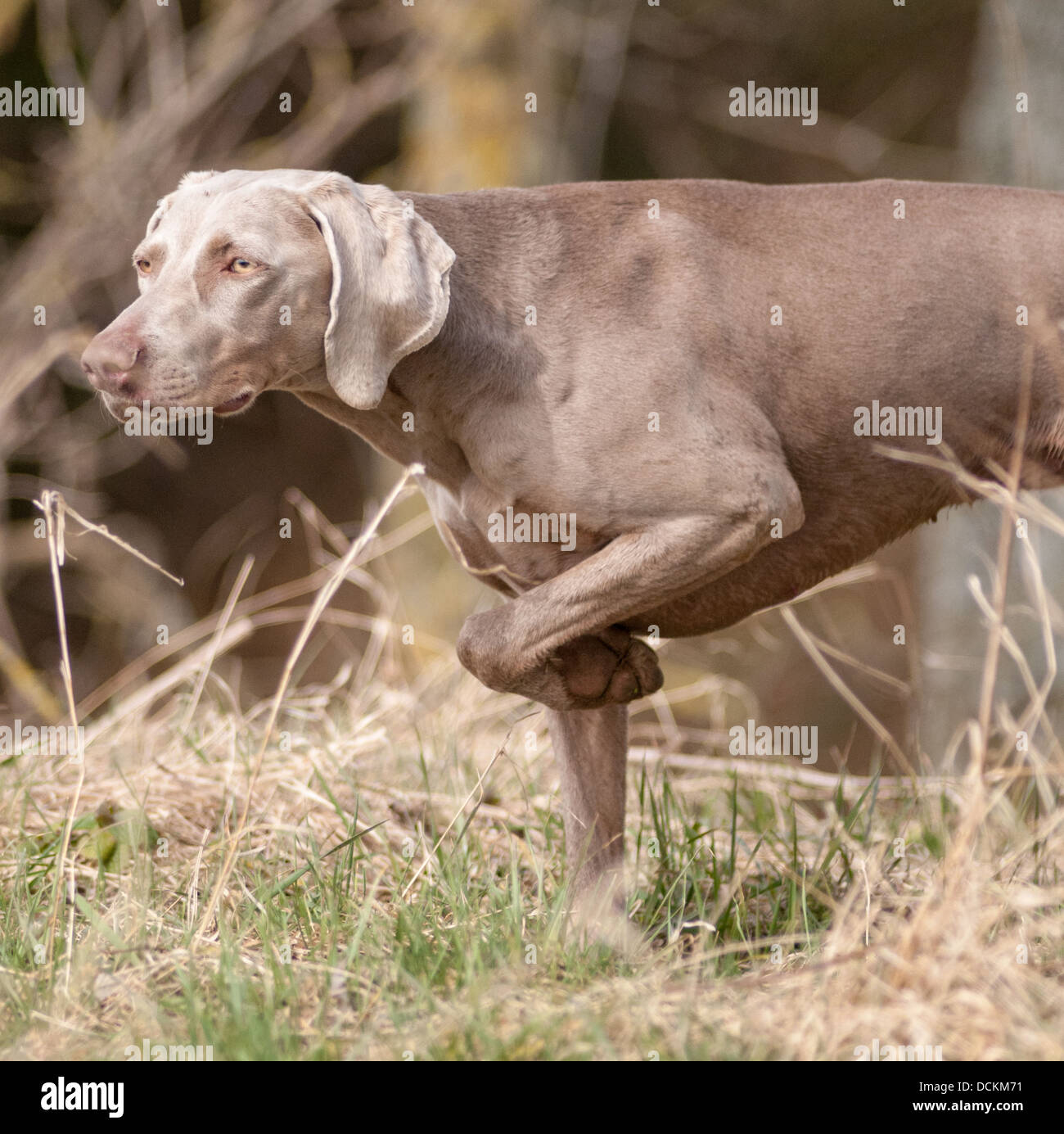 A Weimaraner dog; a Hunter Pointer Retriever (HPR) working gun dog coming 'on point' after finding a game - Stock Image