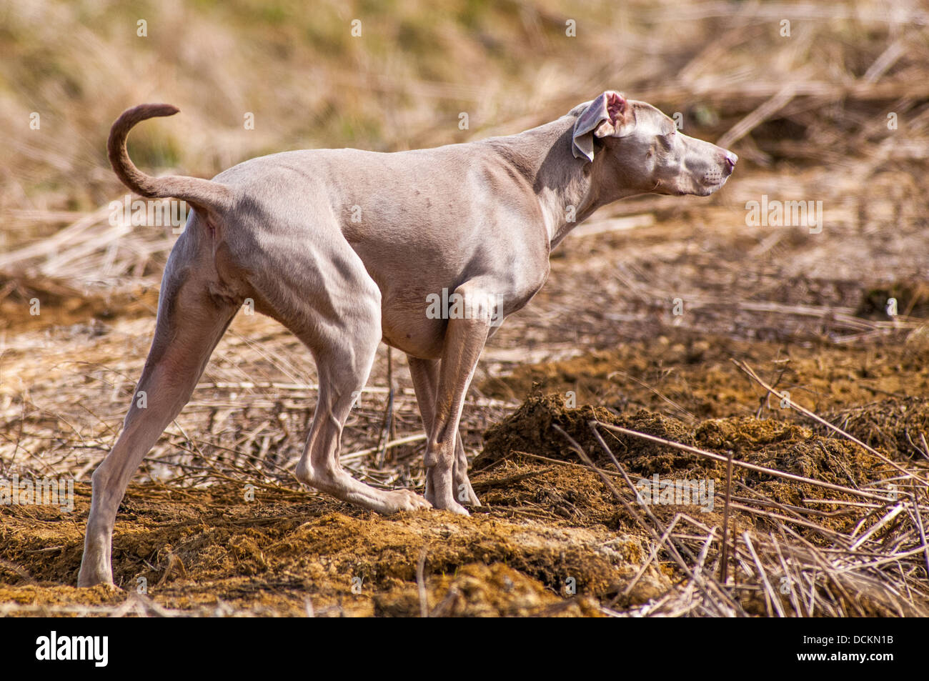 A Weimaraner dog; a Hunter Pointer Retriever (HPR) which is often used as a working gun dog - Stock Image