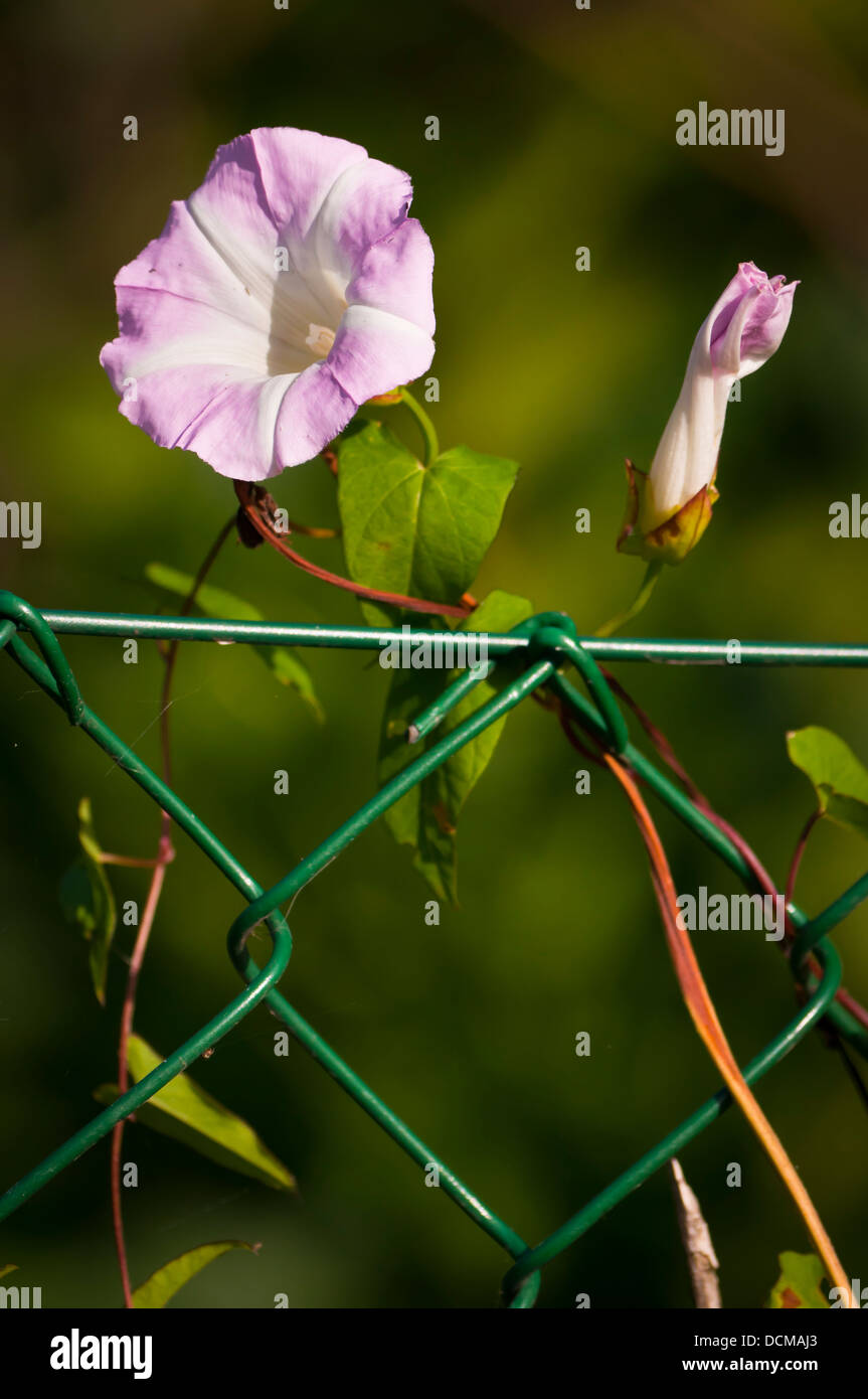 Field bindweed convolvulus arvensis on chain link fence - Stock Image
