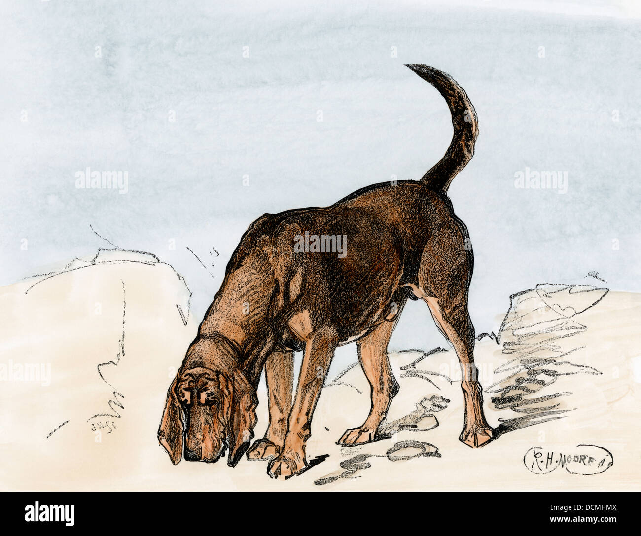 Bloodhound sniffing a trail. Hand-colored woodcut - Stock Image
